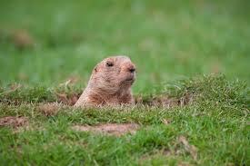 groundhogpop